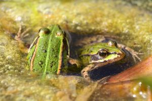Frogs in Pond by mkuegler