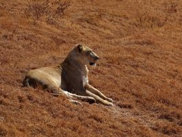 Alert Lioness by Track-Maidens