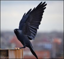 Jackdaw Wings by FrankAndCarySTOCK