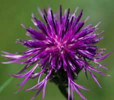 Thistle by Utopia308