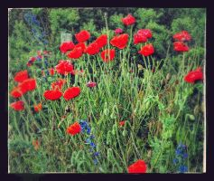 poppies by awjay