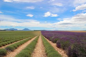 valensole by Flore-stock