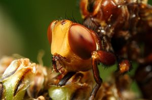 Conopid Fly Portrait by Alliec