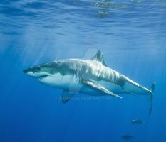Shark Species ID: Great White Shark by Namyr