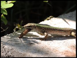 Italian wall lizard noming by AzureHowlShilach