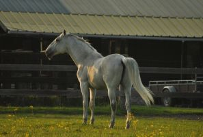 Lipizzaner stallion by AfraidMe