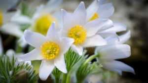 Pasque Flower by NickField