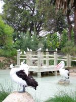 Pretty Pelicans by Tamika87