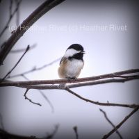 Singing Chickadee by HeatherWaller-Rivet