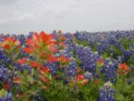 Texas Wildflowers by LizartLizard