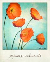 papaver nudicaule by MarkGalbreath