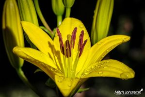 Macro of Lily by mjohanson