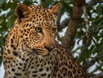 African Leopard by PhilippeduPreez