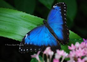 Bright Blue Butterfly by wordweaver1001