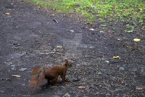 squirrel looking for nuts by Aaken