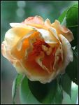 rose to remember someone special by hugitsa