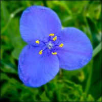 June Spiderwort by bamako