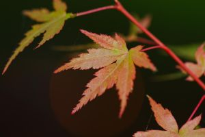 Japanese Maple by organicvision
