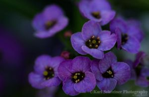 Back Woods Purple by KSPhotographic