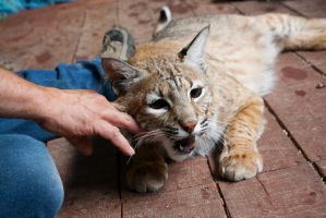 Bobcat stock 6 by C-F-photography