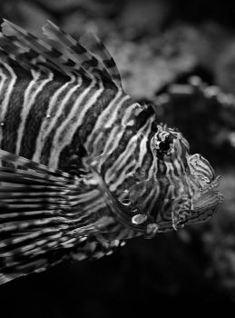 Lionfish by Sparty91