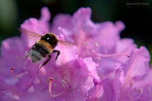 Humble-bee in action by cze-Cappi