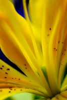 Yellow Lilly Closer by FairyKing8008