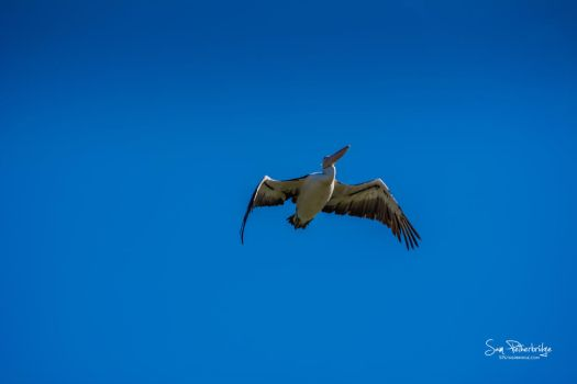 Pelican flying high above Wivenhoe Dam by sampetherbridge