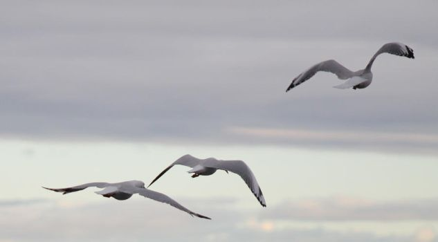 flying seagulls stock by lovehorses14