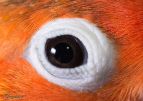 agapornis eye by gorrister76