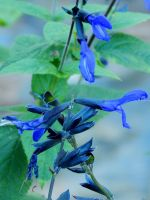 Black and Blue Sage 2 by MadGardens