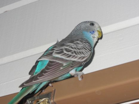 My first pet budgie El (old Photo) by LNine