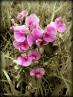 A SWEET PEA FOR ALL YOU SWEET PEA'S! by AudraMBlackburnsArt