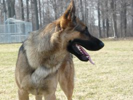 German Shepherd Stock 03 by Unseelie-Stock