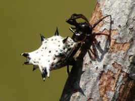 .,..Spined Micrathena.., by duggiehoo