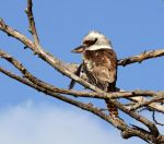 Kookaburra for Vasi by MayEbony