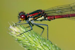 Red damselfly on grass by AngiWallace