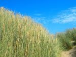 reeds on the dunes by Jay-In-A-Half-Shell