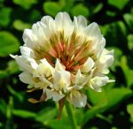 Weed Series-White Clover by pitbulllady