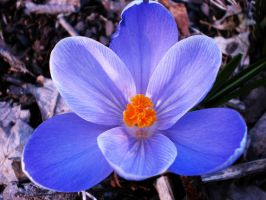Crocus by Xercatos