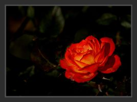 Red, Red Rose by andras120