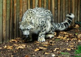 Snow Leopard 2 -- Aug 2009 by pricecw-stock