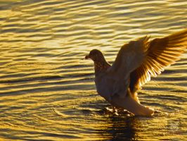 Seagull Leaping Out Of Water by wolfwings1