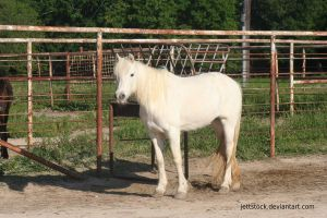 white welsh pony 11 by jettstock