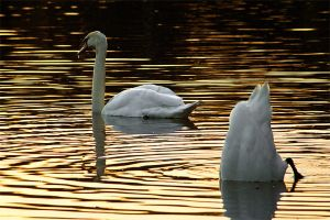 swans in sunlight by mrrossi
