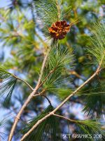 SCRUB PINE IN THE SUN by SCT-GRAPHICS
