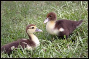 Baby Ducklings by SalemCat