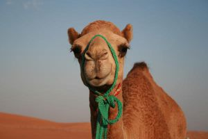 I love camels by Of-Heliotropes