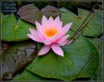 Pink Water Lily by vojis