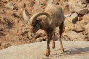 Big Horn Sheep 9 by Chocomix-Stock